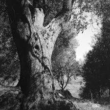 Albero Di Zeno - Velia - Elea